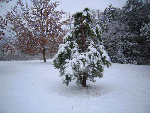 a frozen pine tree