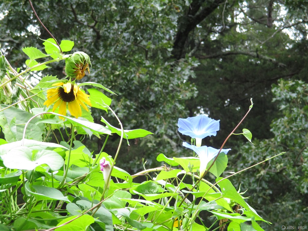 morning glories and sunflowers